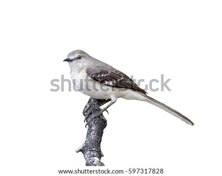 Northern Mockingbird on White Background, Isolated