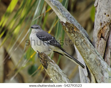 northern mockingbird state bird of florida texas arkansas tennessee south carolina and mississippi perching on