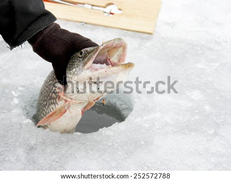 Northern Pike being puled through the hole while ice fishing  - stock photo