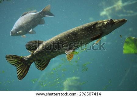 Northern pike (Esox lucius) and wild common carp (Cyprinus carpio). Wildlife animal.  - stock photo