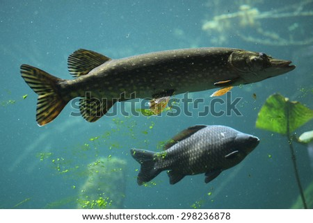 Northern pike (Esox lucius) and wild common carp (Cyprinus carpio). Wildlife animal.  - stock photo