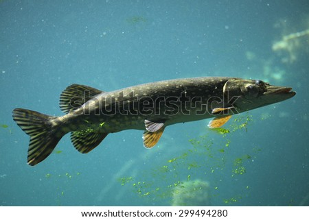 Northern pike (Esox lucius). Wildlife animal.  - stock photo