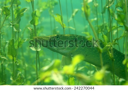 Northern pike fish (Esox lucius) between water plants - stock photo
