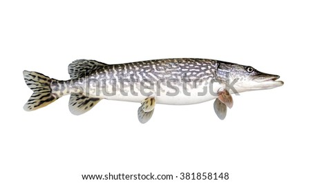 Northern Pike isolated over a white background - stock photo