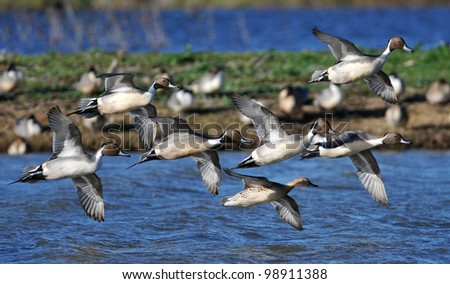 Northern Pin-Tail Ducks Flying in Formation - stock photo