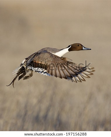 Northern Pintail Drake in Flight against a background of natural wetland vegetation / habitat in northern California, near the Oregon border and Klamath Falls Anas acuta - stock photo