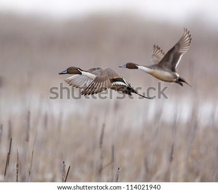 Northern Pintail Drakes in flight over cattails, taking off on the flush; duck hunting / wingshooting; Klamath Falls Wildlife Refuge, on the California / Oregon border - stock photo