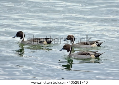 Northern Pintail (wild duck)