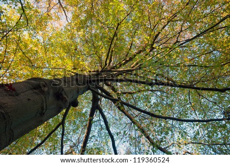 Northern red oak tree growing to the sky - stock photo