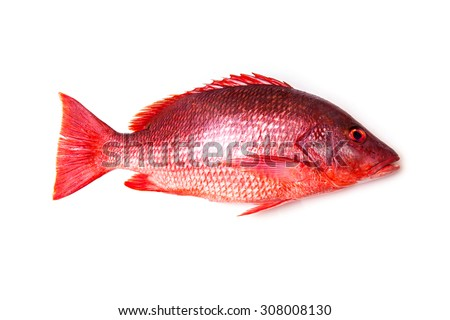 Northern Red Snapper Lutjanus campechanusfish isolated on a white background. - stock photo