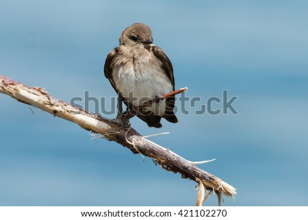 Northern Rough-winged Swallow perched on a branch.