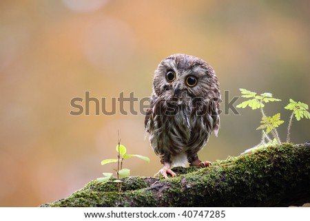 Northern Saw-Whet Owl on a mossy branch. - stock photo