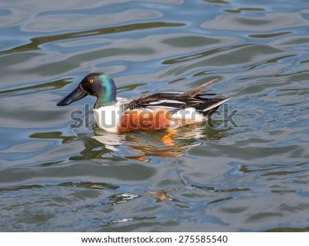 Northern shoveler (Anas clypeata) male duck  in Japan - stock photo