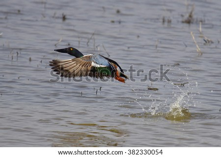Northern Shoveler duck in flight - stock photo