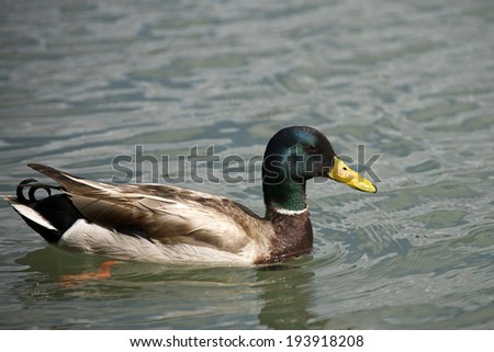Northern Shoveler Duck on a lake - stock photo