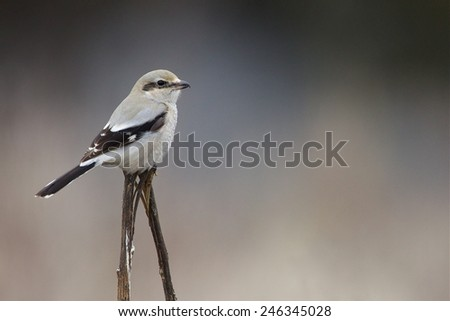 Northern Shrike, a.k.a. the Butcher Bird, Lanius excubitor, Great Grey / Gray Shrike on a natural perch against a natural background; Pacific Northwest Bird & Wildlife Photography - stock photo