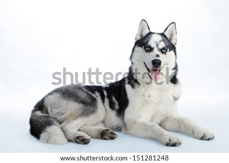 Northern sled dog breed Husky - stock photo