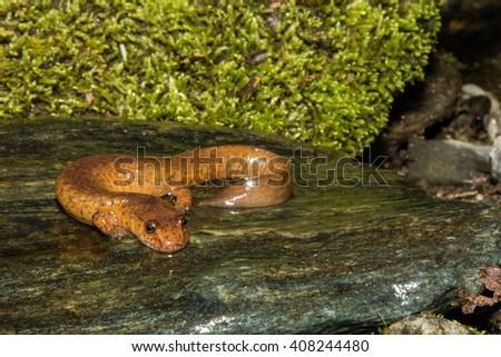 Northern Spring Salamander - stock photo