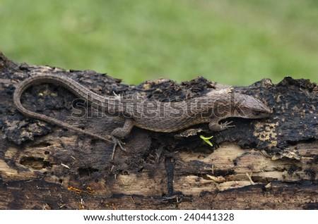 Northern teiid (Alopoglossus angulatus) - stock photo