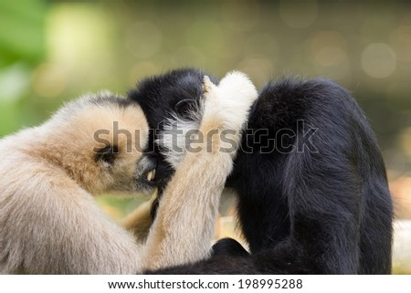 Northern white-cheeked gibbon (Nomascus leucogenys) cuddling - stock photo