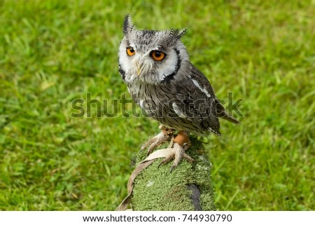 stock-photo-northern-white-faced-owl-pti