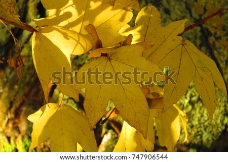 Norway maple, Acer platanoides in autumn,
