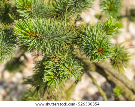 Norway spruce (Picea abies) is a species of spruce native to Northern, Central and Eastern Europe.