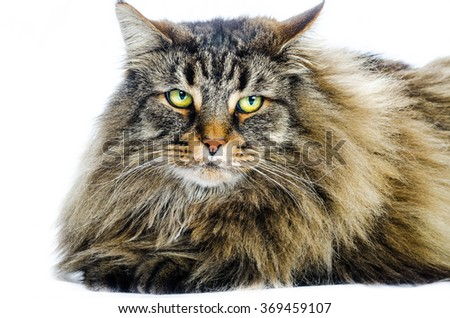 Norwegian cat, color and horizontal composition isolated on white in studio
