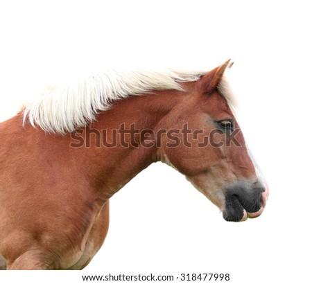 Norwegian Fjord Horse isolated - stock photo