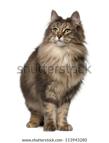 Norwegian Forest Cat, 1 and a half years old, standing against white background - stock photo