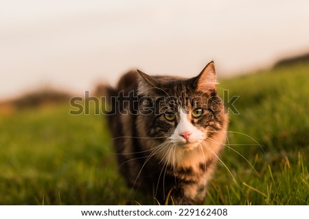 Norwegian Forest cat hunting in meadow at sunset. Soft light. - stock photo