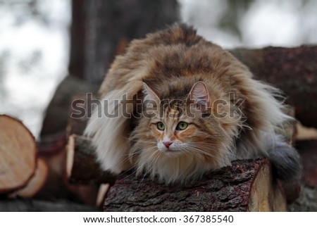 Norwegian forest cat in the forest