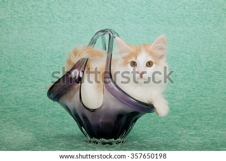 Norwegian Forest Cat kitten lying in purple glass vase on mint green background  - stock photo