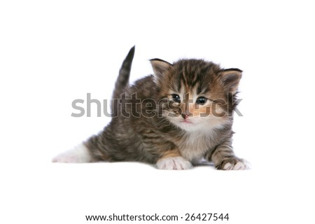 Norwegian Forest Cat kitten on white background - stock photo
