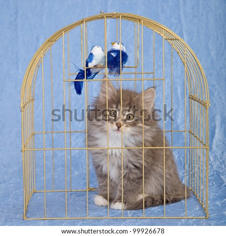 Norwegian Forest Cat kitten sitting inside gold bird cage with fake birds on blue background