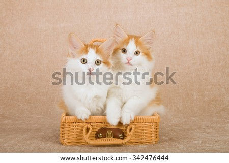 Norwegian Forest Cat kitten sitting inside miniature brown bamboo picnic basket on beige background