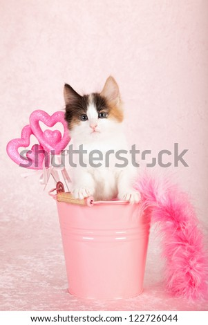 Norwegian Forest cat kitten sitting inside pink bucket pail container with pink feather boa and pink hearts on pink background - stock photo