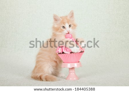 Norwegian Forest Cat kitten with pink cupcake on pink cupcake stand on light green background  - stock photo