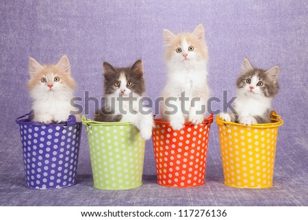 Norwegian Forest Cat kittens sitting inside miniature pails buckets against lilac purple background
