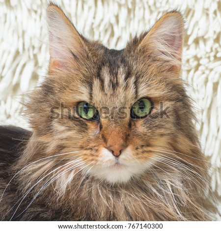 Norwegian Forest Cat, long-haired cat with green eyes lying on a soft white blanket in winter