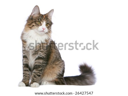 Norwegian Forest Cat sitting - stock photo