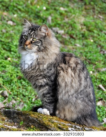 Norwegian forest cat sitting on a stone outdoor