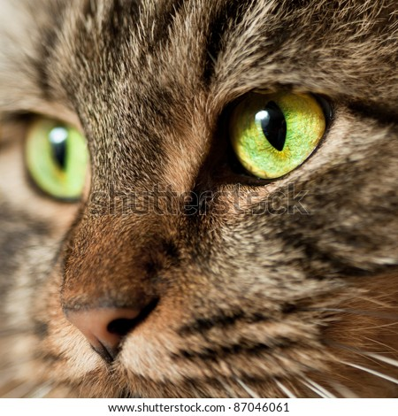 Norwegian Forest Cat with green eyes with lots of details in the eyes - stock photo
