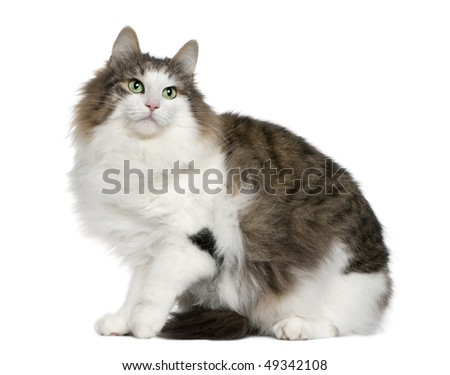 Norwegian Forest Cat, 4 years old, sitting in front of white background - stock photo