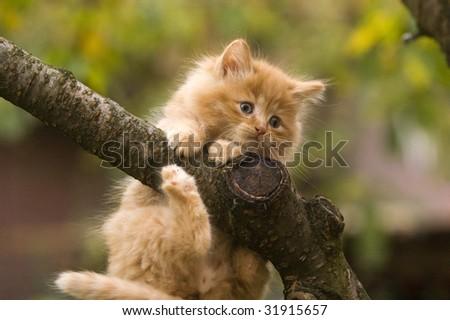 Norwegian forest cat k...
