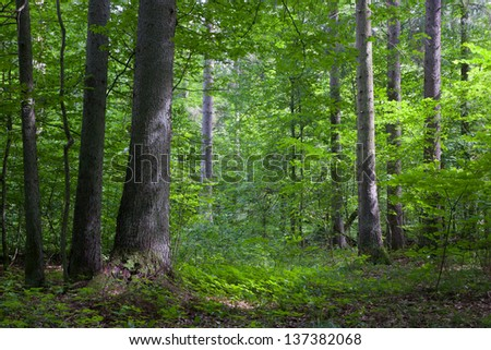 Norwegian Spruce trees in afternoon sunlight against fresh green deciduous stand in summer - stock photo