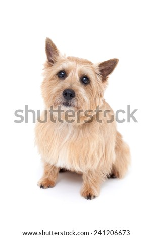 Norwich terrier dog isolated on white background