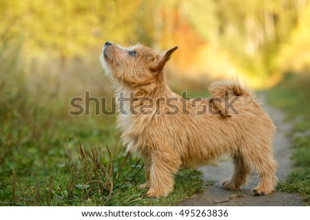 summer outdoor backgrounds. Norwich Terrier Puppy Standing In Summer Outdoor Background Backgrounds V