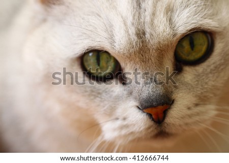 Nose closeup photo with eyes of  silver colour cat - stock photo