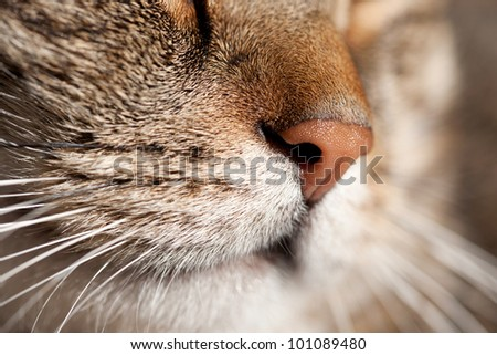nose of a striped male cat